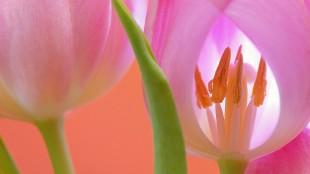 tulip-566875_1280